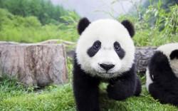 cutest-panda