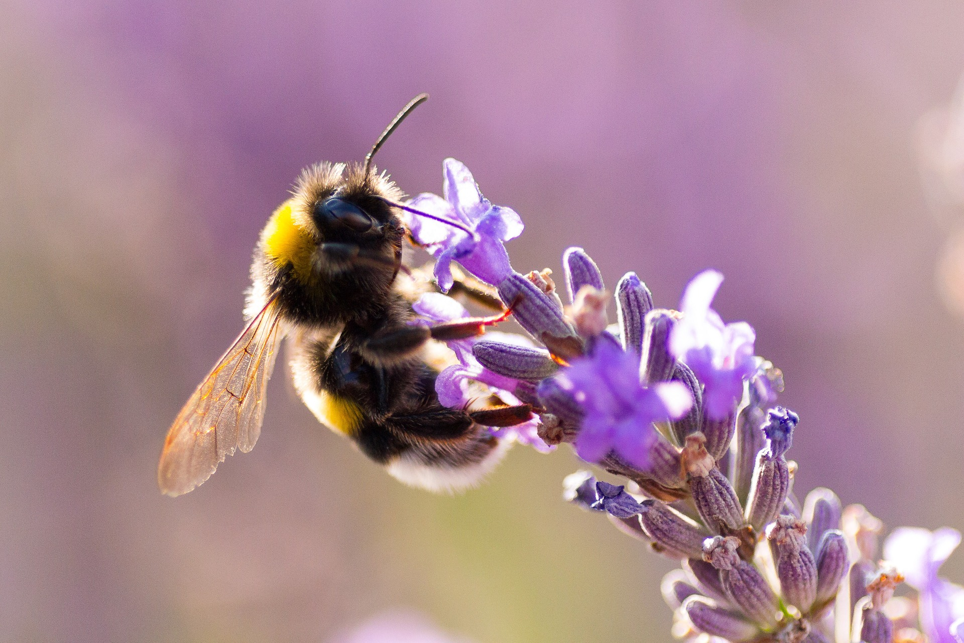(Bumble)bees at work - Cute wallpapers